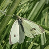 Small cabbage white butterfly - Pieris rapae - Barton - ACT - Australia - 20150306 @ 10:53