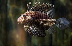 2_pi_Lion Fish_Vadivelu