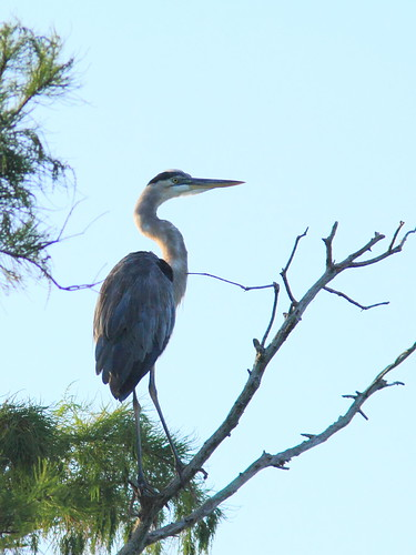 Great Blue Heron 20150722