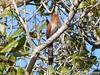 Alma-de-gato (Piaya cayana) [Squirrel Cuckoo] by Helio Lourencini