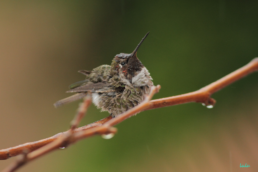 Anna's Hummingbird 200715