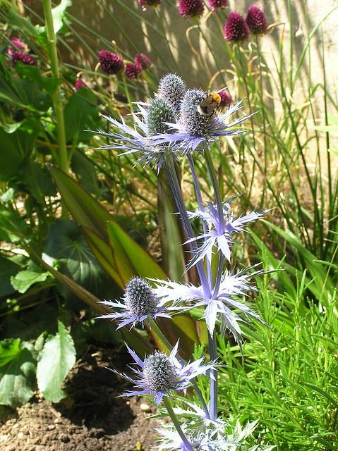 Erungium x zabelii 'Big Blue'