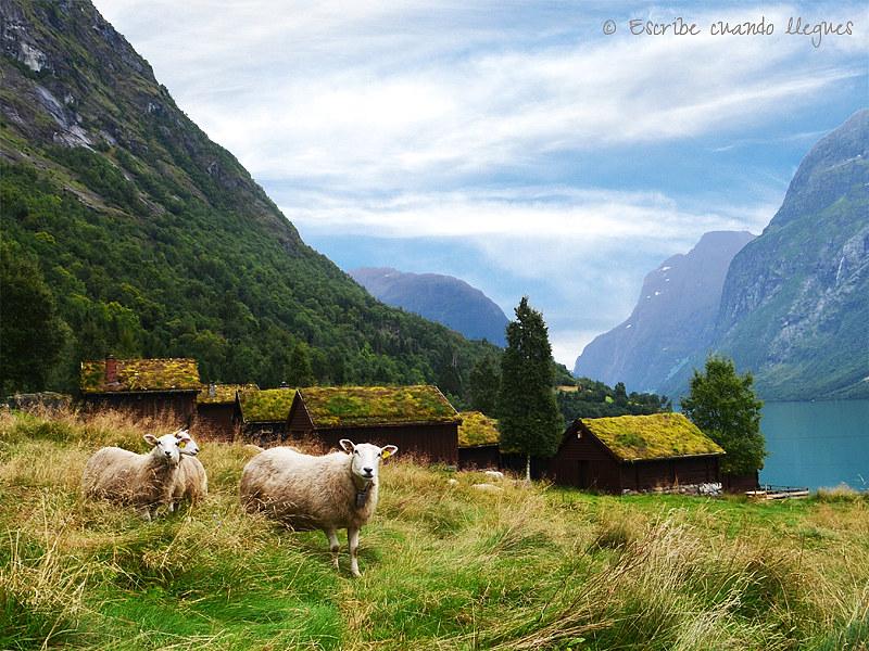 Unas simpáticas ovejas pastan tranquilamente en las laderas del Valle Lodalen, en las inmediaciones de la Granja Breng