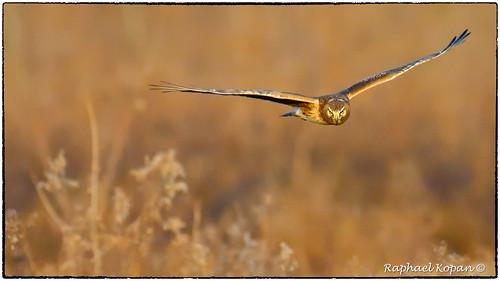 d500 nikon 200500mmf56edvrzoom northernharrier armlederpark ohio cincinnati handheld raphaelkopanphotography wildlife