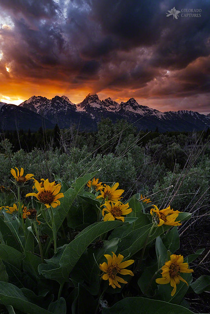 Aspen Sunflower Sunset In The Tetons