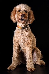 toy poodle, miniature poodle, standard poodle, dog breed, animal, dog, schnoodle, pet, lagotto romagnolo, mammal, poodle crossbreed, poodle, cockapoo, goldendoodle, cavapoo, barbet,