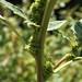 Small photo of Amaranthus retroflexus - stem