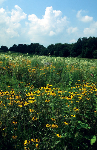 Thriving prairie with black-eyed susans