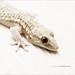 salamandras/ salamanders by varahus