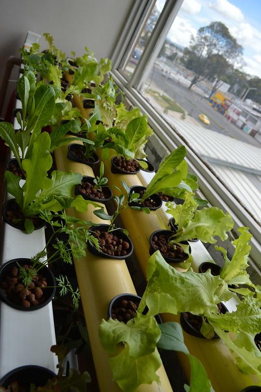 Cultivo hidroponioco 2° semana