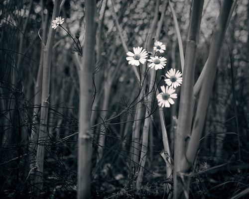 flowers bw monochrome field closeup daisies weed sweden lowkey rapeseed 2015
