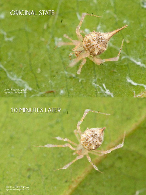 Comb-footed spider (Theridiidae) - DSC_2611_compare