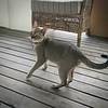 Telling me what to do #DailyShotOfWhiskey #Singapura #CatsOfInstagram #PetsOfInstagram #kitty #cat