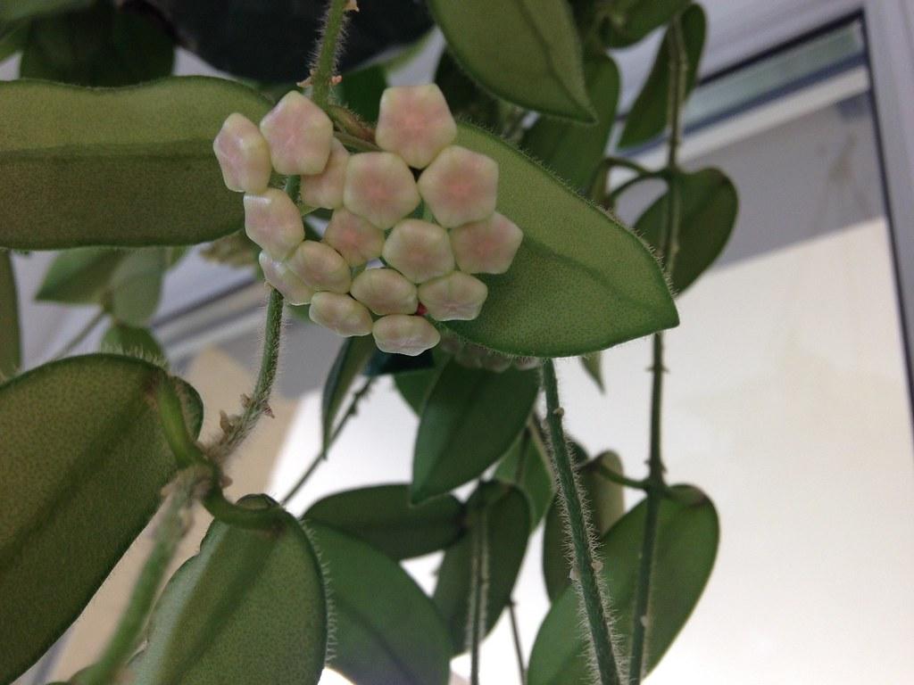 Hoya Kanyakumariana et Hoya Thomsonii 20221588262_b90bd8d1c5_b