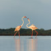 Pair of Greater flamingos by Sulakna