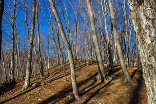 浅間尾根の樹林・・・傾いたお日様が綺麗に演出