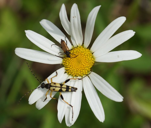 Gefleckter Schmalbock (Leptura maculata) 2015_05_31