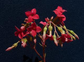 Kalanchoe 'Kewensis' 19028332712_fe8cde105b_n