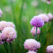 chives by domo k.