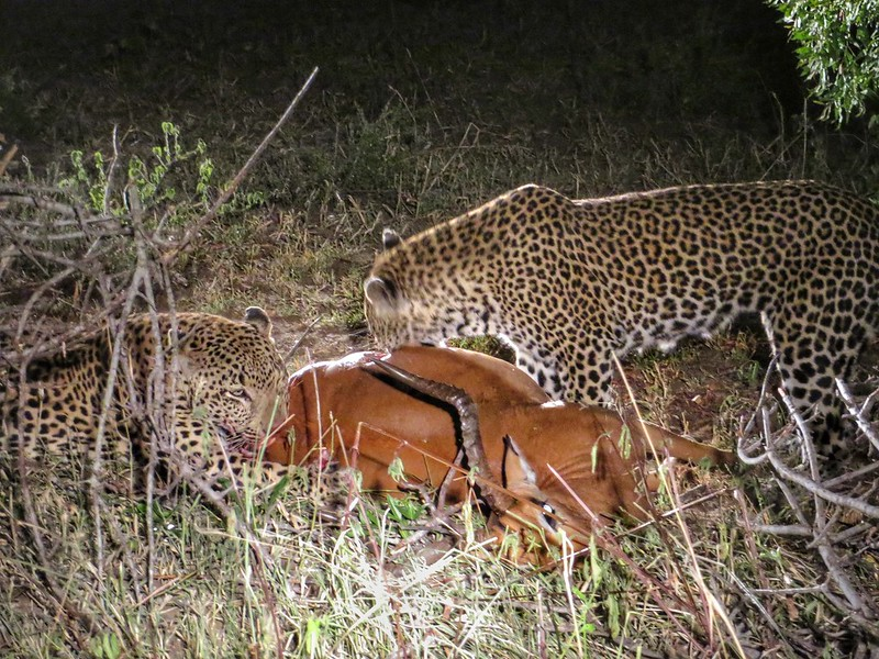 Leopards eating an impala