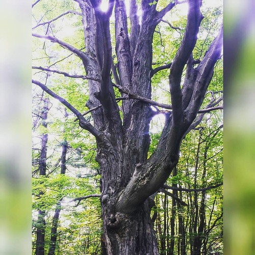 A rather magnificent old tree. #trees #ChestnutRidge
