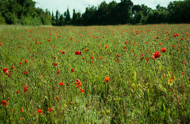 20150704-10_Wheat Field with Poppies