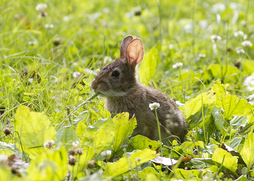summer rabbit field mammal eating sylvilagusfloridanus