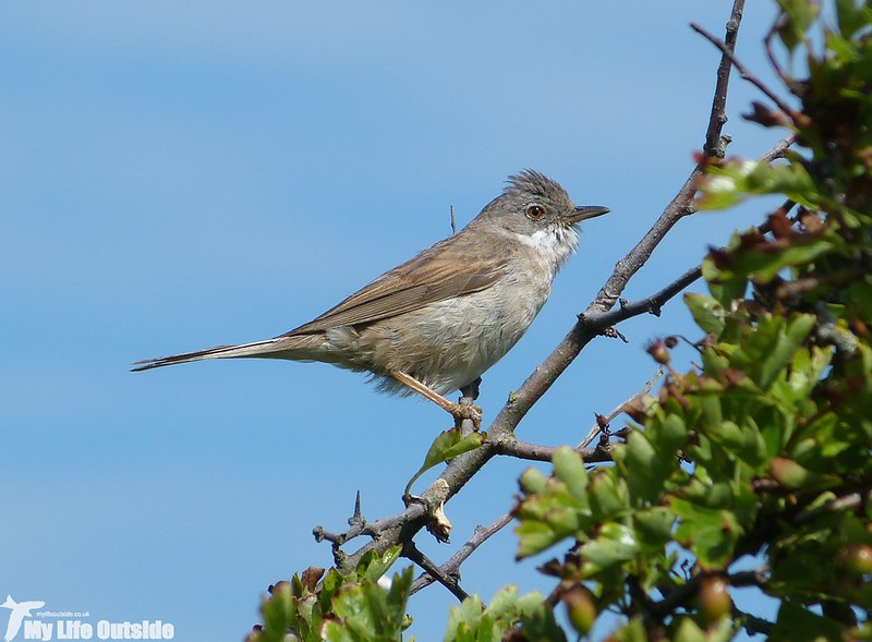 P1130854 - Whitethroat, Kenfig NNR