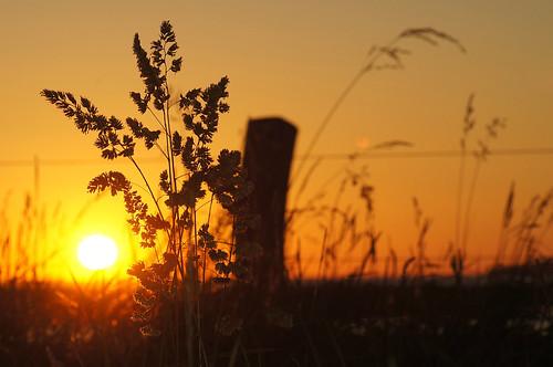 sunset reed grass fence coucherdesoleil challengeyouwinner 15challengeswinner challengegamewinner challengefactorywinner thechallengefactory fotocompetition fotobronze fotocompetitionbronze geddal