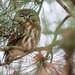 311: Superb Owl by JKLsemi