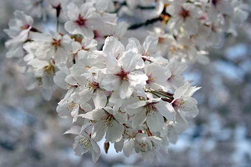 Sakura 06.4.1 #002