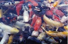 carp, fish, fish, koi,