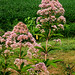 Photo: Joe Pye weed 'Atropurpureum'