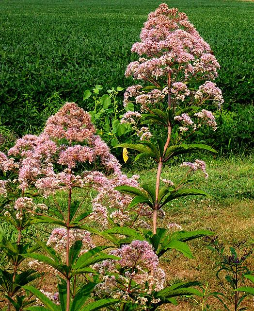 Photo: Joe Pye weed 'Atropurpureum'