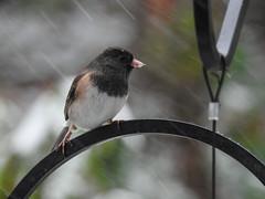 Snowbirds-3953