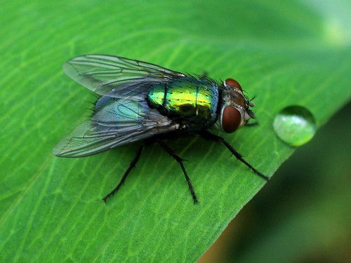 Green Bottle Fly on leaf