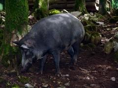 animal, wild boar, domestic pig, pig, grazing, fauna, pig-like mammal, wildlife,