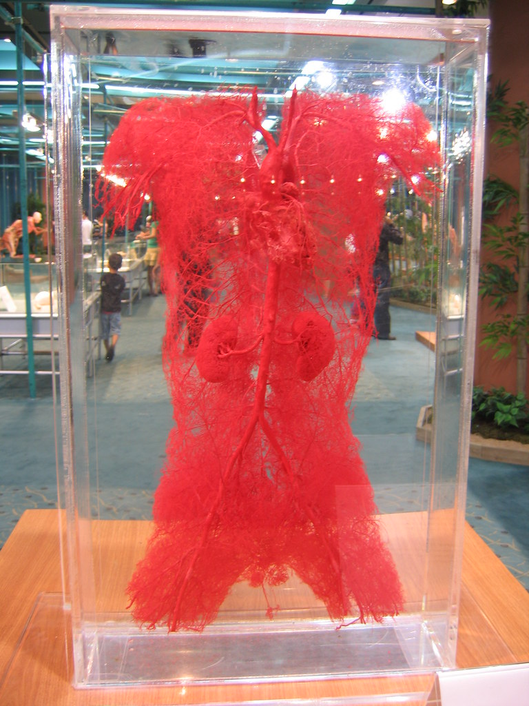 blood vessels -- torso