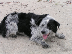 tibetan terrier(0.0), bearded collie(0.0), border collie(1.0), dog breed(1.0), animal(1.0), dog(1.0), pet(1.0), street dog(1.0), polish lowland sheepdog(1.0), stabyhoun(1.0), mammal(1.0), havanese(1.0),