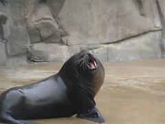 walrus(0.0), animal(1.0), seals(1.0), sea lion(1.0), marine mammal(1.0), fauna(1.0),