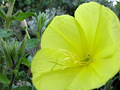Yellow Flower 20050704 02