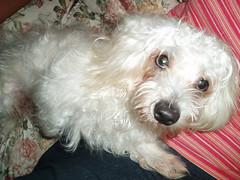 toy poodle(1.0), miniature poodle(1.0), bichon frisã©(1.0), dog breed(1.0), animal(1.0), dog(1.0), cavachon(1.0), schnoodle(1.0), pet(1.0), coton de tulear(1.0), lã¶wchen(1.0), glen of imaal terrier(1.0), bolonka(1.0), poodle crossbreed(1.0), havanese(1.0), morkie(1.0), bichon(1.0), west highland white terrier(1.0), maltese(1.0), bolognese(1.0), carnivoran(1.0), terrier(1.0),