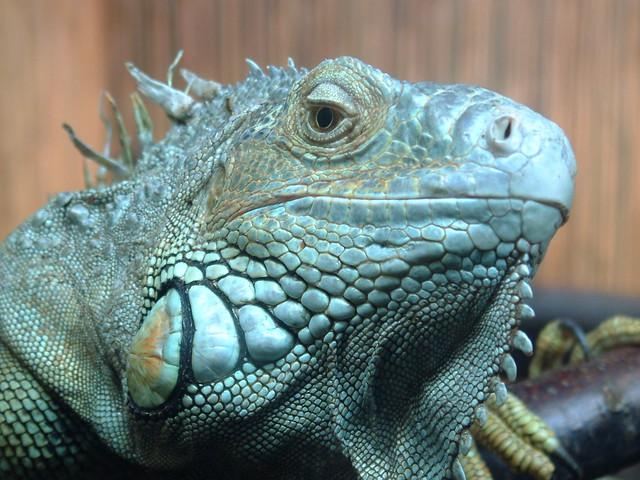 Macro'd Iguana