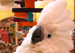 parrot(0.0), wing(0.0), sulphur crested cockatoo(0.0), cockatoo(1.0), animal(1.0), pet(1.0), beak(1.0), bird(1.0),