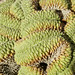 Small photo of Aberrant Cactus