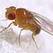 Fruit fly (Drosophila melanogaster, male)