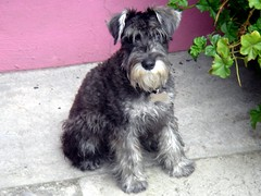 cairn terrier(0.0), dog breed(1.0), animal(1.0), dog(1.0), schnoodle(1.0), pumi(1.0), pet(1.0), glen of imaal terrier(1.0), giant schnauzer(1.0), standard schnauzer(1.0), schnauzer(1.0), cesky terrier(1.0), bouvier des flandres(1.0), irish soft-coated wheaten terrier(1.0), miniature schnauzer(1.0), carnivoran(1.0), terrier(1.0),