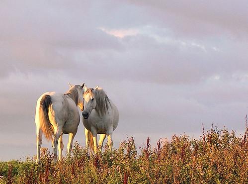 ireland sunset horse field ilovenature topf50 topf75 couple dusk deleteme10 topv1111 topv999 brush valentine 500v50f saveme9 mostfavorited topv777 top20horsepix topf100 equestrian pick10 donegal irlanda irlande 750uz 82points mireasrealm 1500v60f utatafeature fivestarsgallery olympus750uz cotcmostfavorites top20ireland top20irelandhalloffame firsttheearth world100f cyspecialchallengewinner limerickcameraclub
