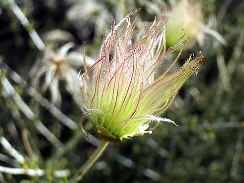 Apache Plume Fruit: photo by Cliff Hutson
