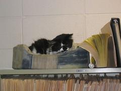 Resident cat at Chappelle Animal Hospital